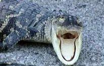 Alligatore alla buca 5!