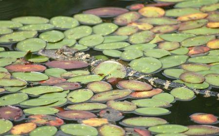 Alligatore Golf