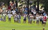 Un orso spettatore all'US Senior Open